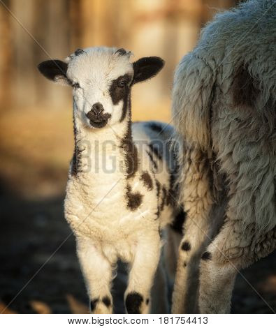 Baby Jacob Sheep standing next to his Mother