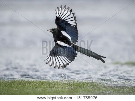 Magpie Flying From A Puddle Of Water, Close Up