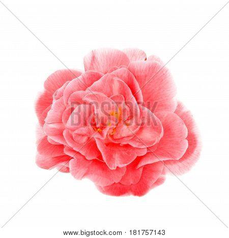 One single Camellia flower isolated on white background