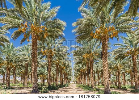 Plantation of date palm trees. Start of ripening season of dates. Tropical agriculture industry in the Middle East.
