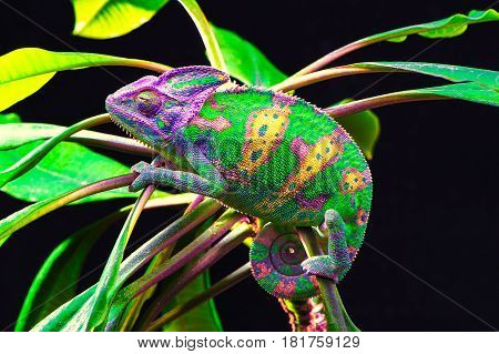 Yemen chameleon isolated on black large background.Lizard on the green leaves.skin has a bright color