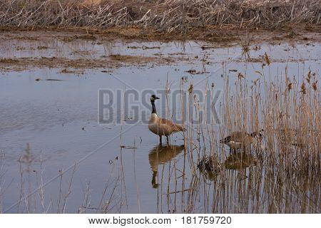 Ducks in a coastal Salt Marsh amid tall grasses