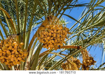Plantation of date palm trees. Start of ripening season of dates. Concept of agriculture industry in the Middle East