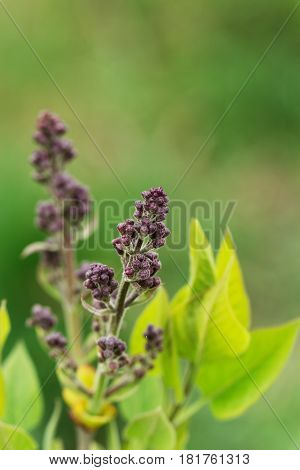 Flower background - lilac flowers in spring blossom. Spring flower background with spring blooming lilac flowers. Closeup view of lilac flowers in blossom flower background