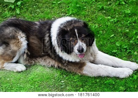 Caucasian Shepherd a large guard dog. Fluffy Caucasian shepherd dog is lying on a green grass