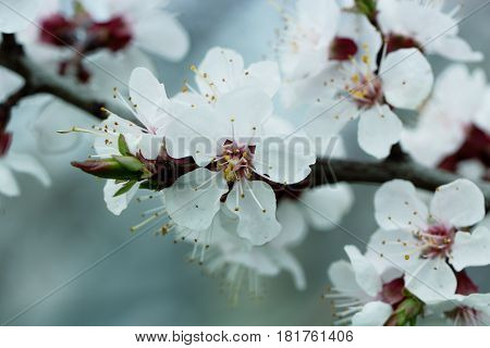 Spring Garden of flowering apricots. Spring blossom. Apricot blossom branch close-up The buds on the branches of a tree apricot spring