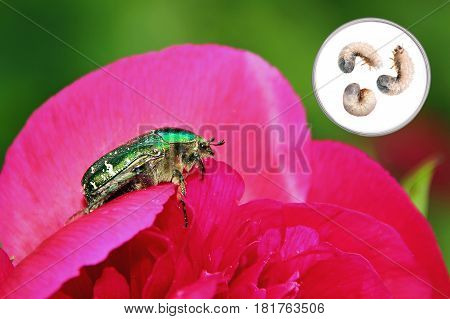 paeony flower with rose chafer and larvae