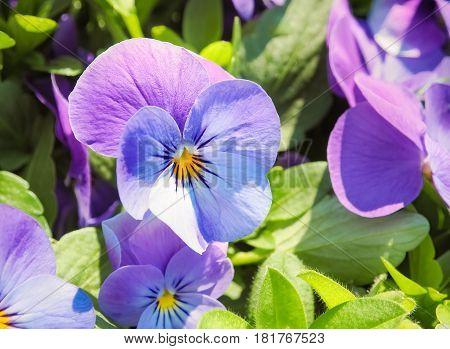 Beautiful blue purple flower in the garden, Selective focus
