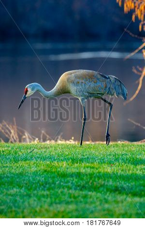 Vertical image of a Sandhill Crane (grus canadensis) walking by a lake in the springtime.