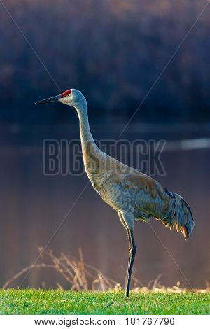 Sandhill Crane (grus canadensis) standing next to a lake in Wisconsin during the spring migration in April