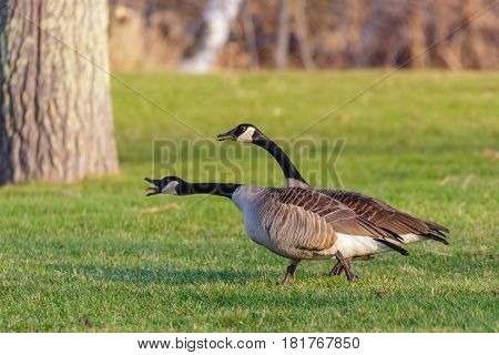 Pair of Canada Geese (branta canadensis) chasing others away before springtime nesting