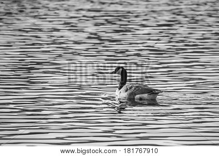 Black and white image of a canada goose swimming in a Wisconsin Lake