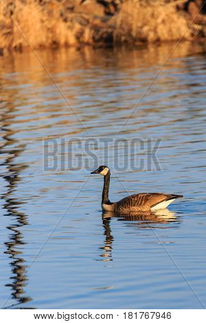 Canada Goose (branta canadensis) in Lake Wausau, Wausau, Wisconsin in April
