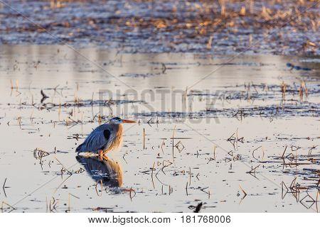 Great Blue Heron (ardea herodias) standing in wetlands in Wisconsin