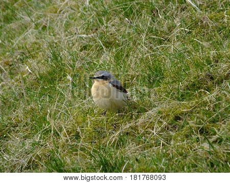 Male wheatear visiting UK to breed on uplands
