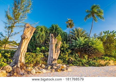 Dead upright tropical trees on Seven Mile beach in Cayman Islands