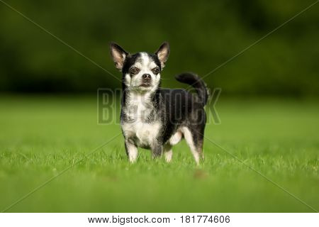 Chihuahua Dog On Grass