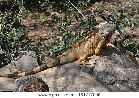 Iguana with long striped tail resting on rock in Mexican jungle