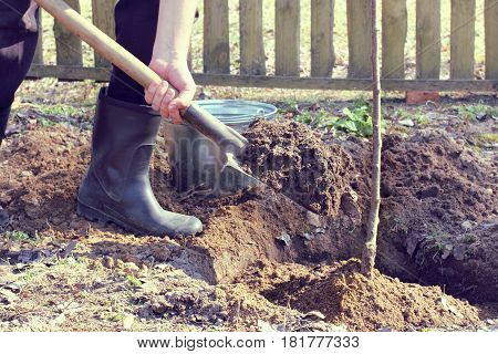A gardener with a shovel of the earth is engaged in digging in the roots of the fruit tree / planting time on the garden plot