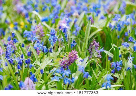 Field Of Blue (scilla Sibirica) Spring Flowers.