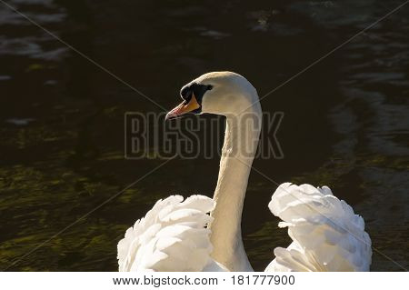 Mute Swan (Cygnus olor) portrait adult swimming in water of a Town Canal