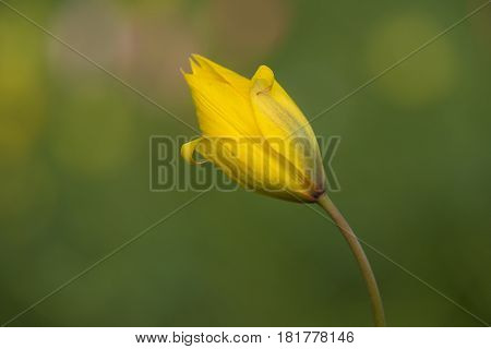 Wild Tulip (Tulipa sylvestris) flower flowering in a Flowerbed