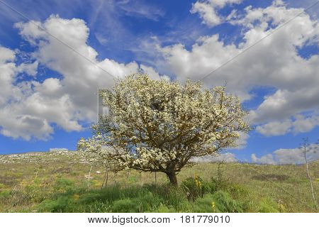 SPRINGTIME. Alta Murgia National Park: wild almond tree in bloom at dawn. Apulia-ITALY-Typical Apulian countryside of Murgia's plateau with wide fields ,rocky outcrops and grassland .