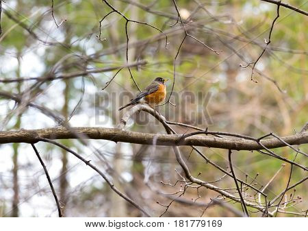 Small fat robin redbreast perched absolutely still on a tree branch other tree limbs moving in spring breeze