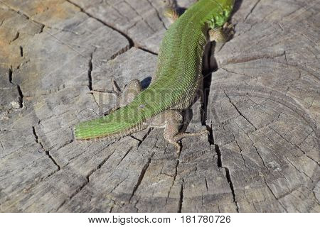 Regeneration Of The Lizard's Tail. An Ordinary Quick Green Lizard. Lizard On The Cut Of A Tree Stump