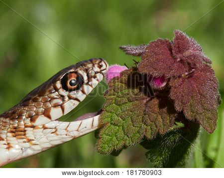 snake in natural habitat (Dolichophis caspius) - juvenile