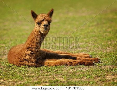 Baby Llama laying on the grass looking at me