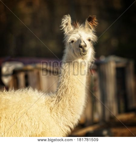 Llama standing outdoors with teeth showing looking at me