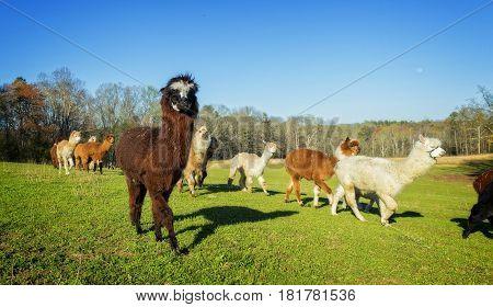 A herd of Llamas walking paste me in the field
