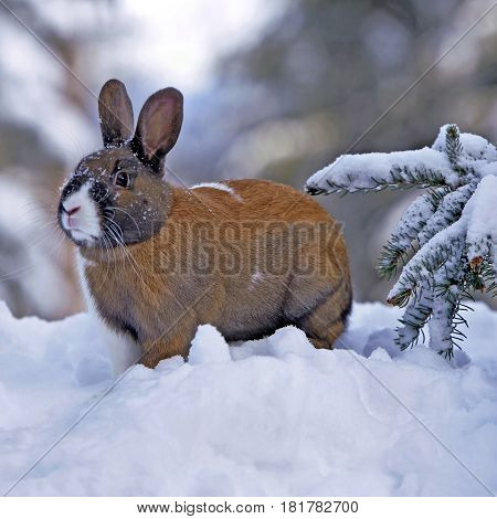 Domestic Rabbit male standing in snow alert