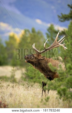 Elk Bull in pine grove calling Jasper National Park Canada