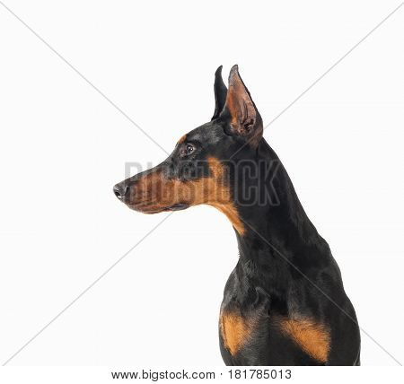 Black and tan Doberman Pincher looking to the right