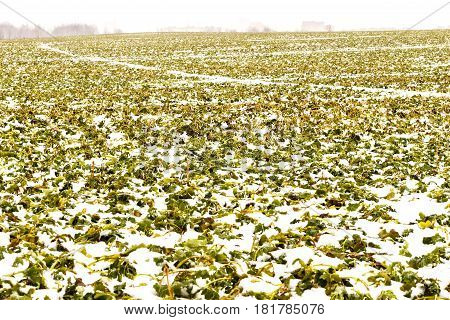 Field of winter rape, which is well wintered under snow