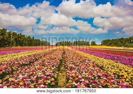Magnificent multicolored flowering garden buttercups. Kibbutz field next to the Gaza Strip. Spring in Israel. The concept of modern agriculture and industrial floriculture