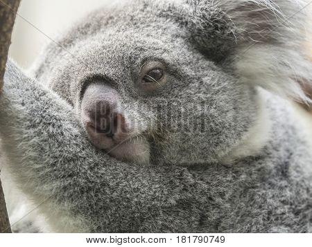 Closeup of a Koala