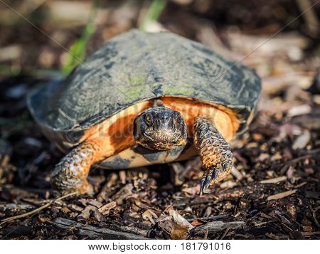 Wood turtle, a threatened species in Virginia, crawling on ground