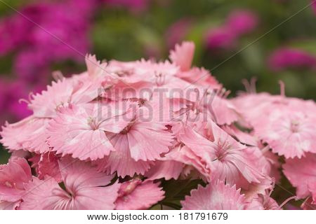 Flowers pink carnations Turkish summer garden on a flowerbed
