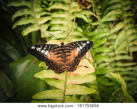 Black butterfly with brown and white spots laying on a fern in a tropical forest.