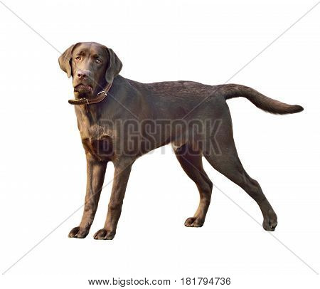 Labrador retriever dog. Close-up portrait isolated on white background