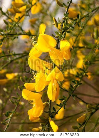 Stunning Dangling Golden Gorse Flower Petals And Heads in the Bright Light of Spring and Sun with Green Branches Behind Bokeh Stunning With Life and Love and Tranquility