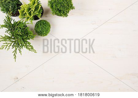 Modern composition of assortment green conifer plants in pots top view on white wooden board background. Blank copy space.