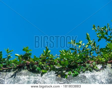 A climbing plant on top a cement wall. green leaves. Cement wall. Blue sky without clouds.