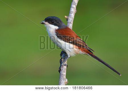 Burmese Shrike Bird