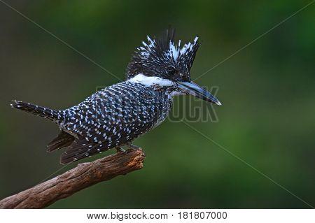 Crested Kingfisher Bird