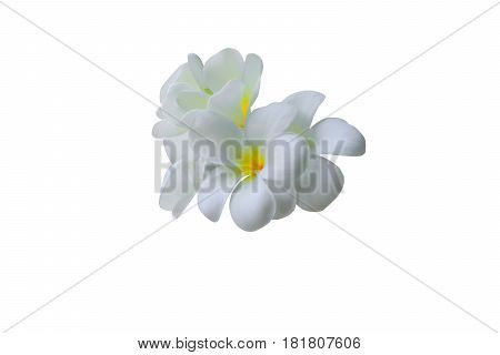Plumeria. Spa flower isolated on white background and clipping path ( Common name pocynaceae Frangipani Pagoda tree Temple tree )