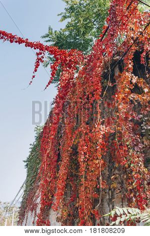 Red autumn ivy leaves Creep and covering a concrete wall